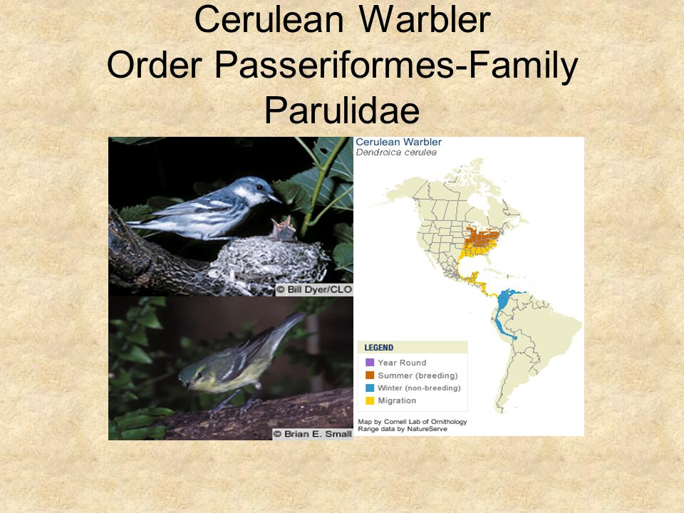 Cerulean Warbler Order Passeriformes-Family Parulidae