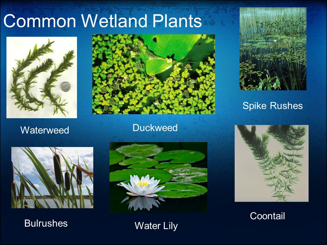 Common Wetland Plants Waterweed Duckweed Spike Rushes Bulrushes Water Lily Coontail