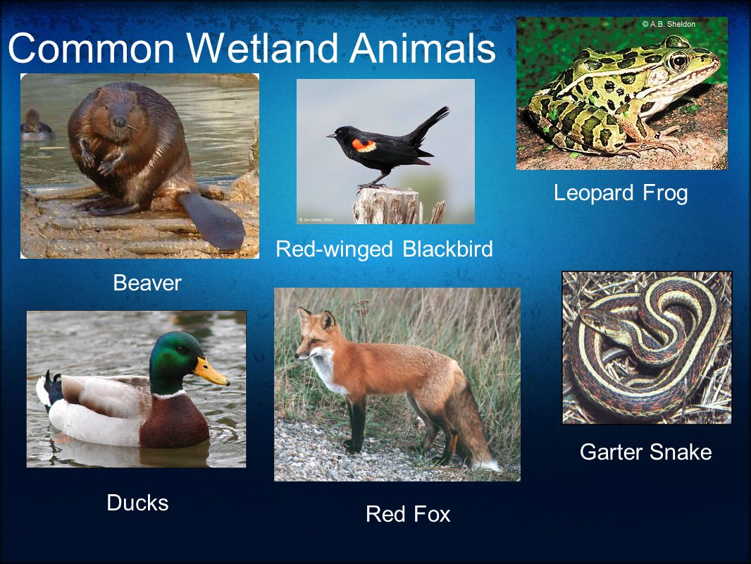 Common Wetland Animals Red-winged Blackbird Beaver Ducks Leopard Frog Red Fox Garter Snake