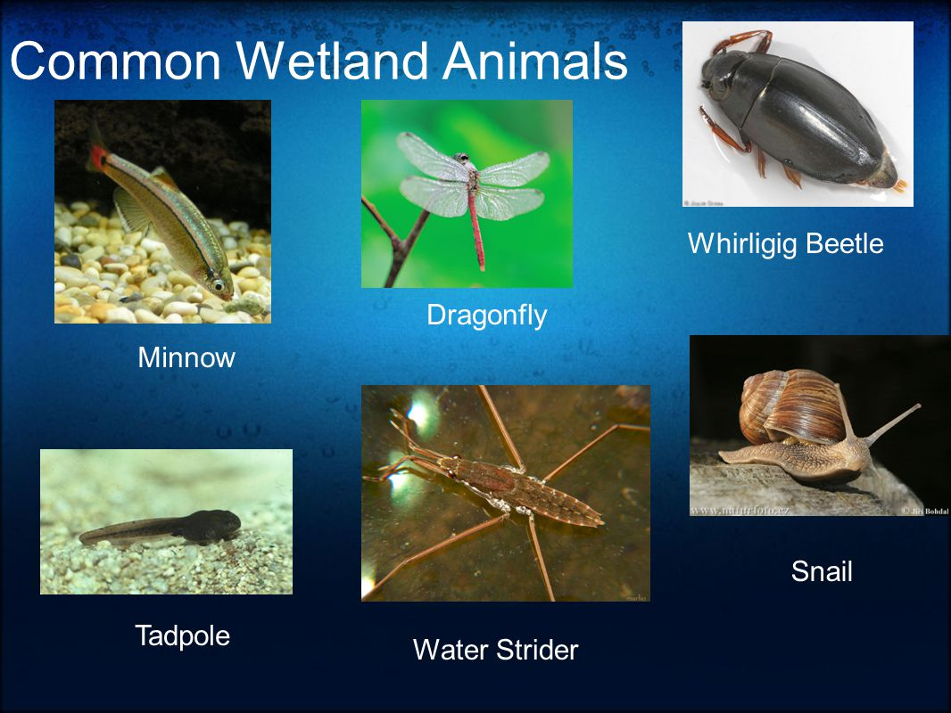 Common Wetland Animals Dragonfly Minnow Tadpole Whirligig Beetle Water Strider Snail