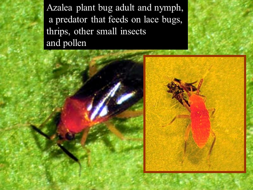Southern Red Mite (Oligonychus ilicis) Adults are ½ mm long, oval, purplish, or reddish, with eight legs.