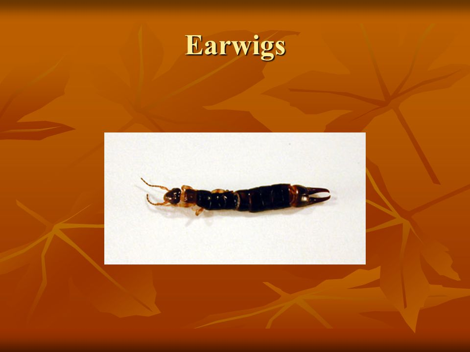 Earwigs (Dermaptera) Many species are predaceous.