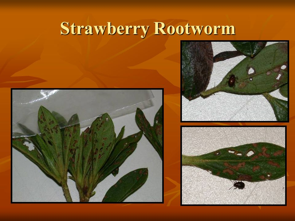 Strawberry rootworm, Paria fragariae The strawberry rootworm, Paria fragariae, is a pest of azaleas in production nurseries.