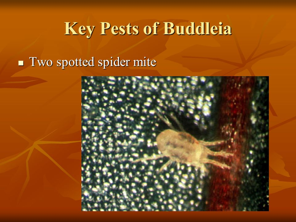 Two spotted spider mite 37 Buddleia species and cultivars evaluated 37 Buddleia species and cultivars evaluated B.