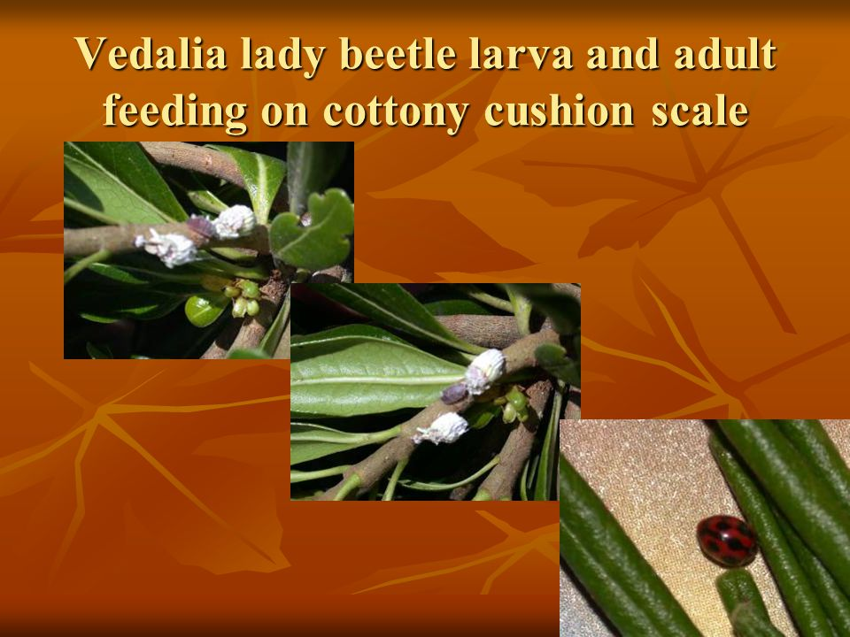 Vedalia beetle larva Cottony cushion scale female with eggs