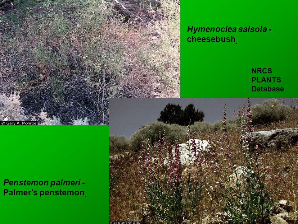 Hymenoclea salsola - cheesebush Penstemon palmeri - Palmer s penstemon NRCS PLANTS Database