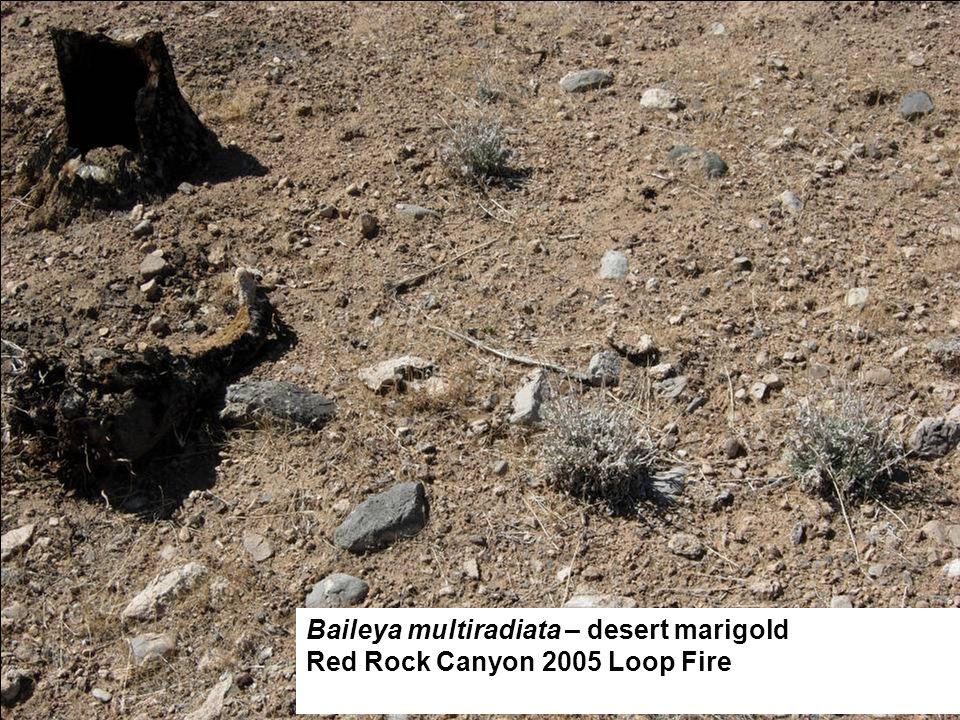 Baileya multiradiata – desert marigold Red Rock Canyon 2005 Loop Fire