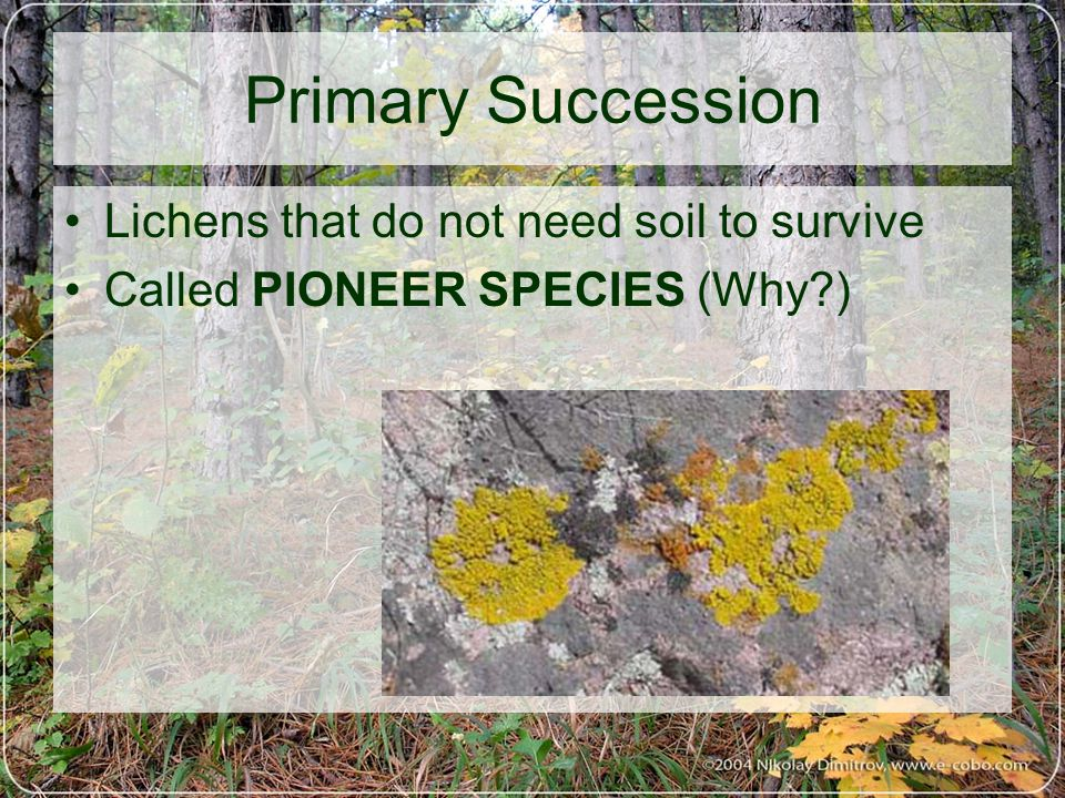 Primary Succession Lichens that do not need soil to survive Called PIONEER SPECIES (Why )