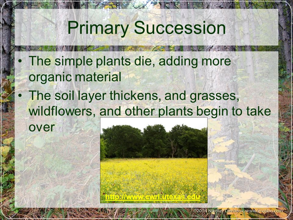 Primary Succession The simple plants die, adding more organic material The soil layer thickens, and grasses, wildflowers, and other plants begin to take over http://www.cwrl.utexas.edu