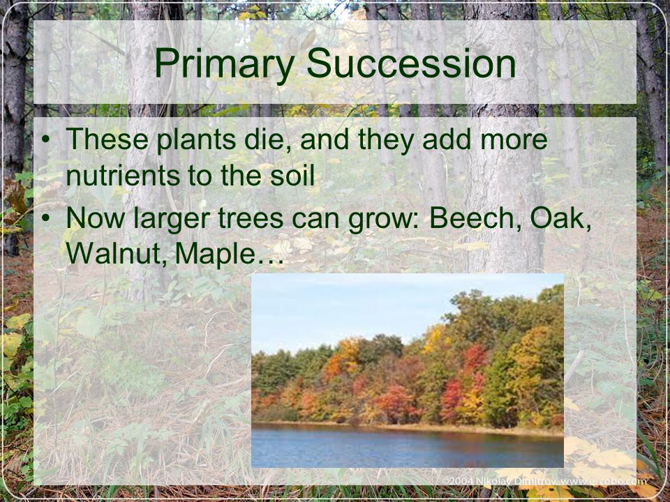 These plants die, and they add more nutrients to the soil Now larger trees can grow: Beech, Oak, Walnut, Maple…