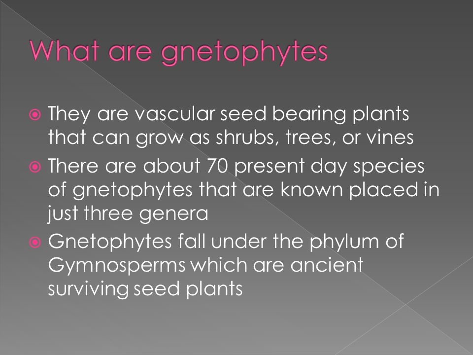  They are vascular seed bearing plants that can grow as shrubs, trees, or vines  There are about 70 present day species of gnetophytes that are known placed in just three genera  Gnetophytes fall under the phylum of Gymnosperms which are ancient surviving seed plants