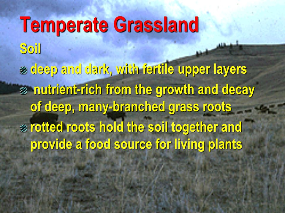 Temperate Grassland Plants different species of grass grows best in a particular grassland environment seasonal drought, occasional fires, and grazing by large mammals all prevent woody shrubs and trees from invading and becoming established a few trees, such as cottonwoods, oaks, and willows grow in river valleys, and some nonwoody plants, specifically a few hundred species of flowers, grow among the grasses