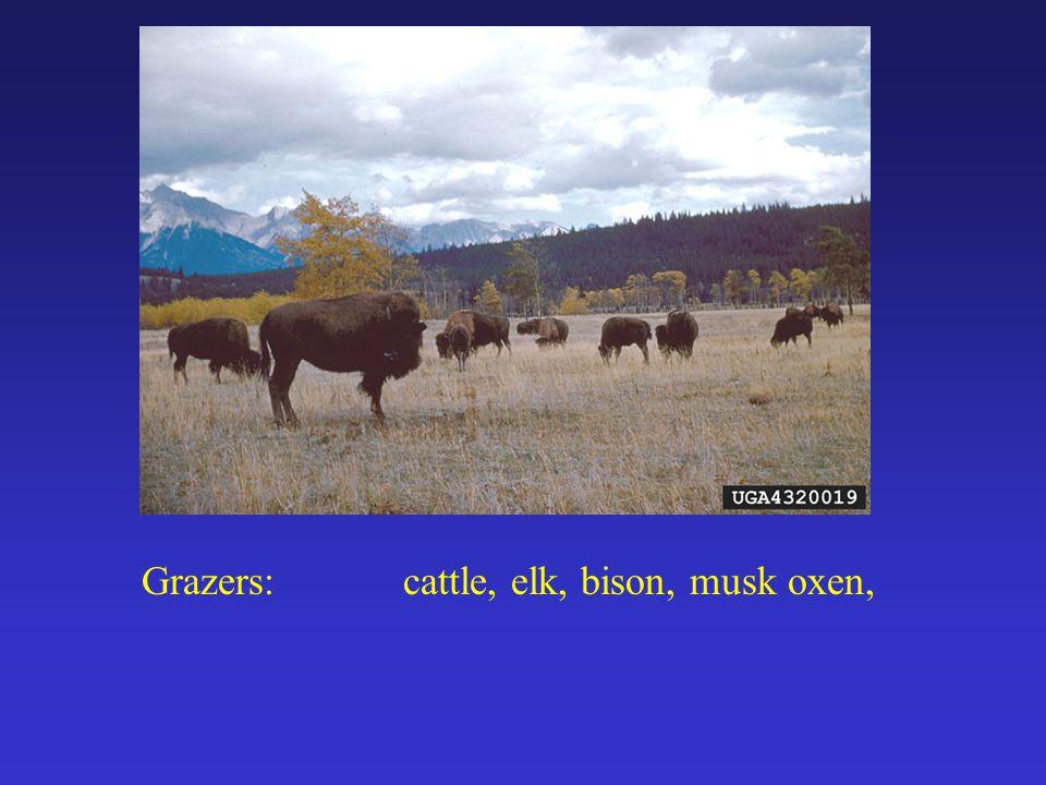 Grazers:cattle, elk, bison, musk oxen,