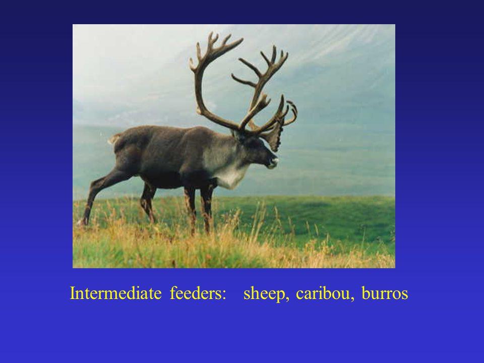 Intermediate feeders: sheep, caribou, burros