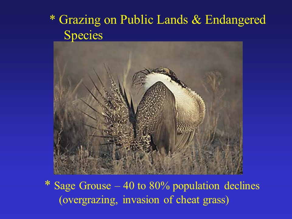 * Grazing on Public Lands & Endangered Species * Sage Grouse – 40 to 80% population declines (overgrazing, invasion of cheat grass)