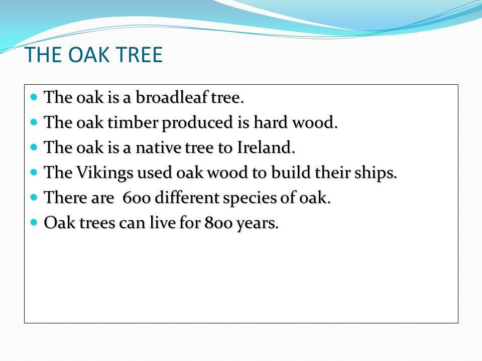 THE OAK TREE The oak is a broadleaf tree. The oak is a broadleaf tree.
