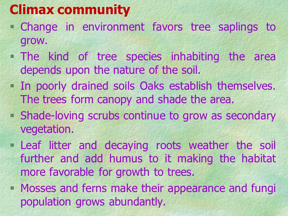 Shrub stage §The herb and grass mixture is invaded by shrub species, such as Rhus and Phytocarpus. §Shrub consists of densely packed bushes with growt