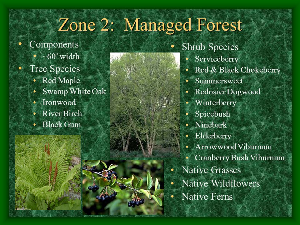 Zone 2: Managed Forest Components ~60' width Tree Species Red Maple Swamp White Oak Ironwood River Birch Black Gum Shrub Species Serviceberry Red & Black Chokeberry Summersweet Redosier Dogwood Winterberry Spicebush Ninebark Elderberry Arrowwood Viburnum Cranberry Bush Viburnum Native Grasses Native Wildflowers Native Ferns