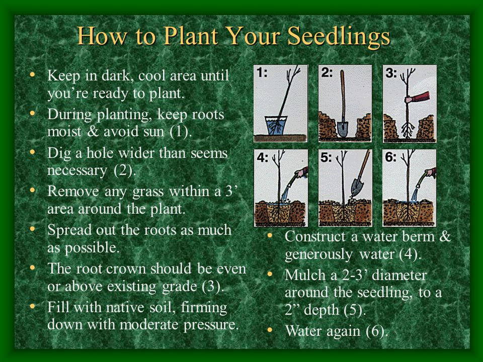 How to Plant Your Seedlings Keep in dark, cool area until you're ready to plant.