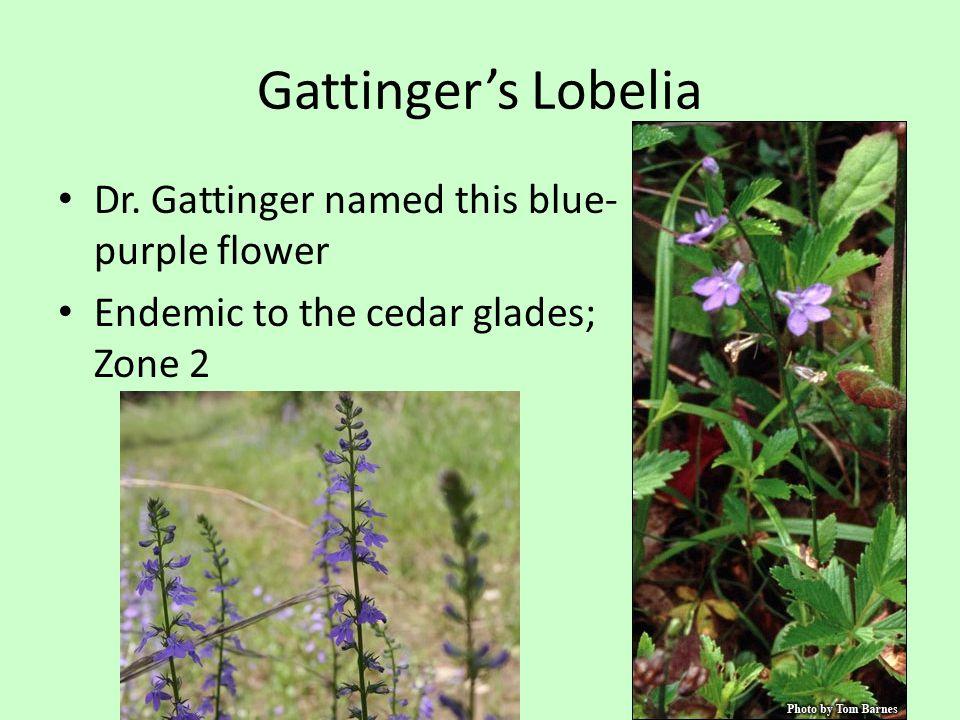 Gattinger's Lobelia Dr.