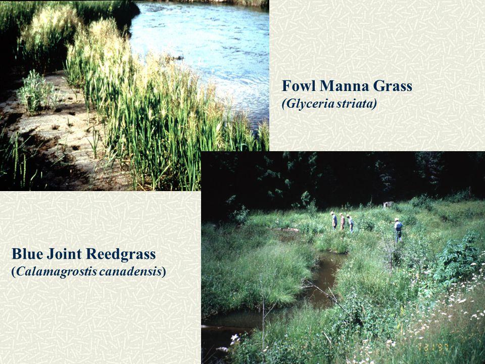 Fowl Manna Grass (Glyceria striata) Blue Joint Reedgrass (Calamagrostis canadensis)