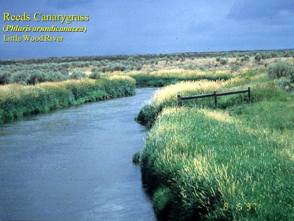 Reeds Canarygrass (Phlaris arundicanacea) Little Wood River