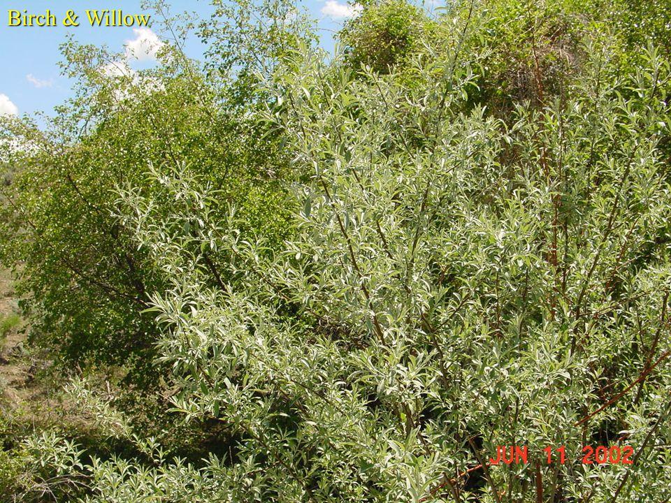 Birch & Willow