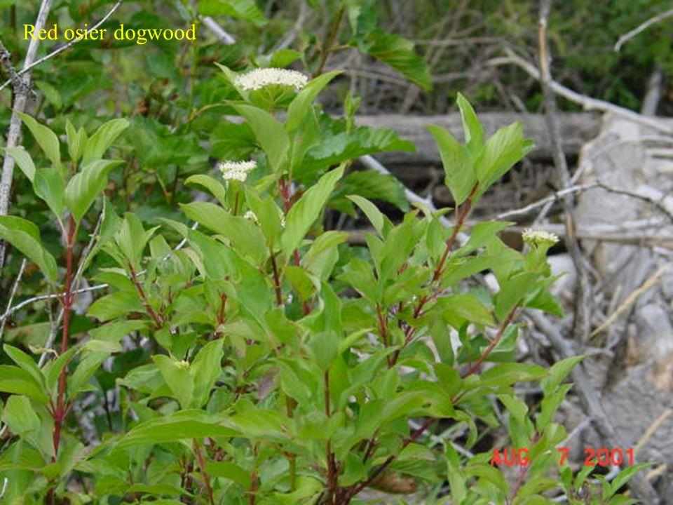 Dogwood Red osier dogwood