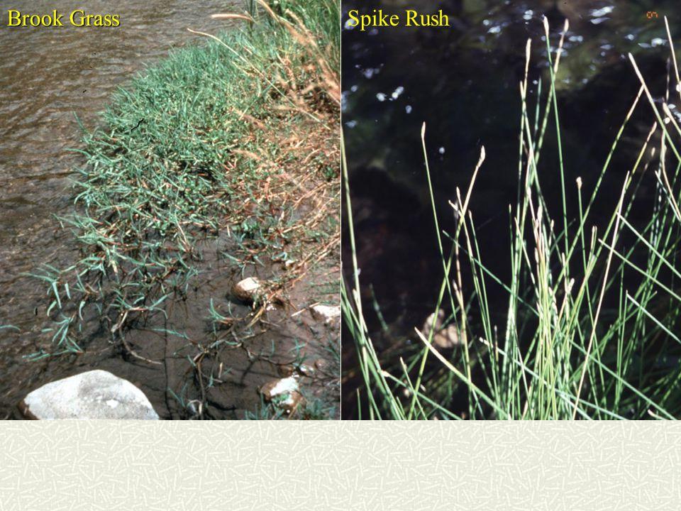 Brook Grass Spike Rush