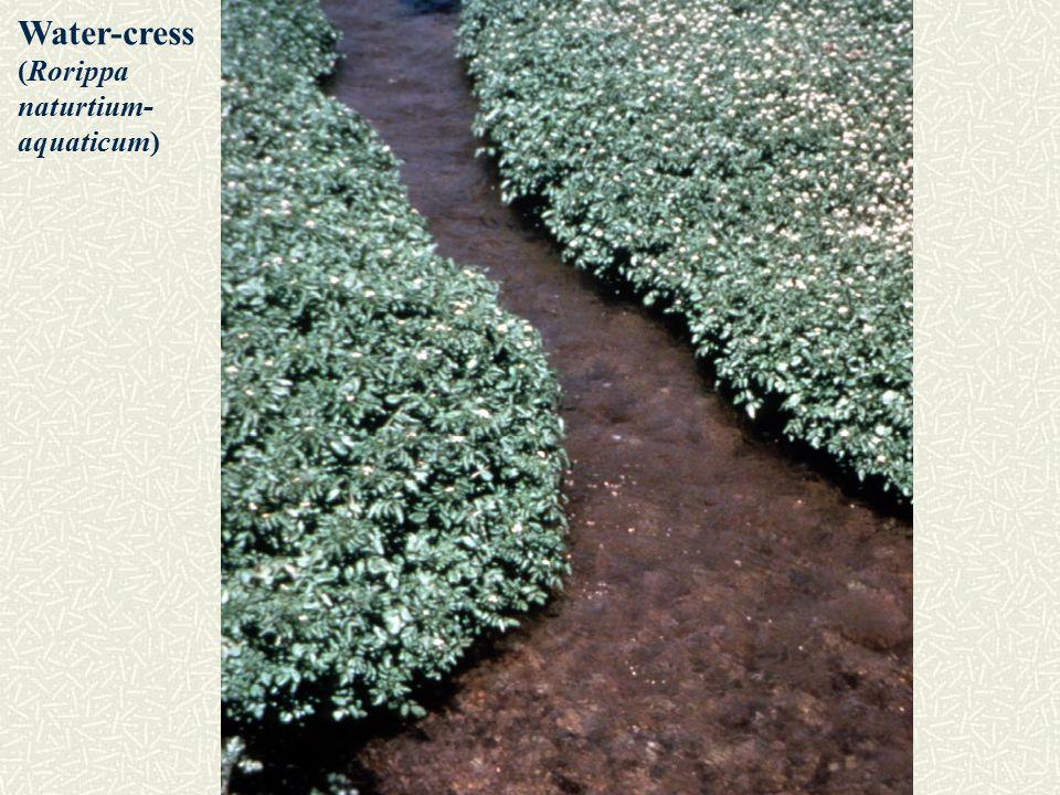 Water-cress (Rorippa naturtium- aquaticum)