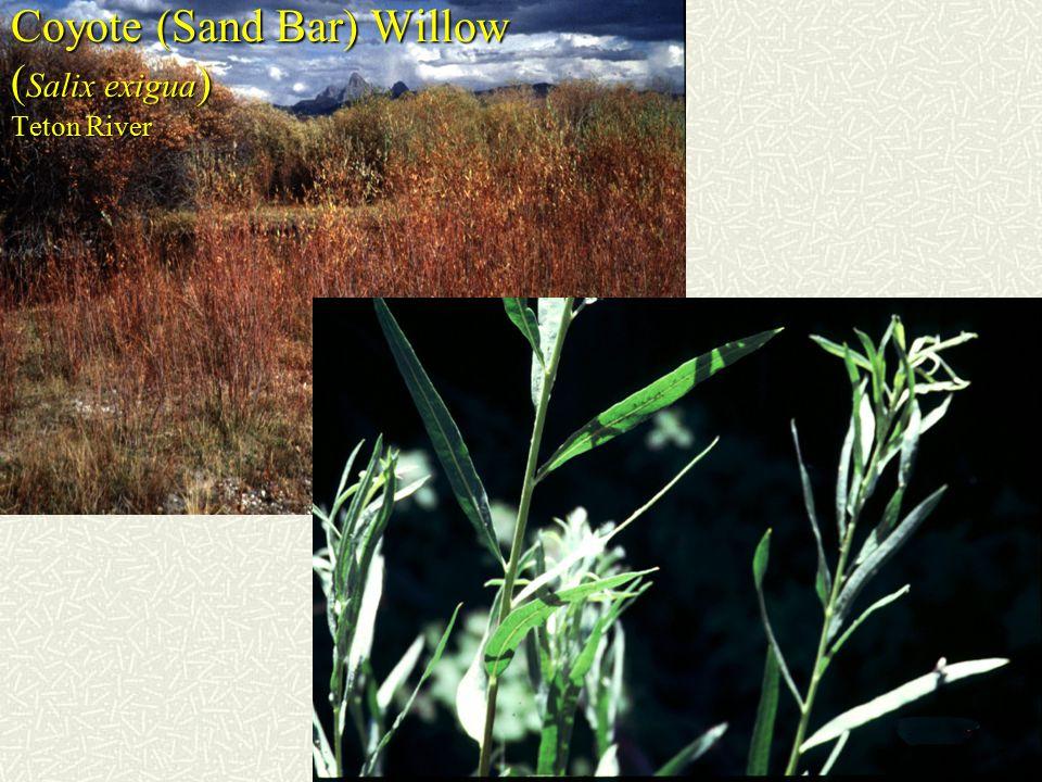 Coyote (Sand Bar) Willow ( Salix exigua ) Teton River
