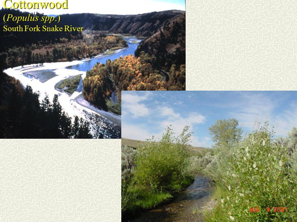 Cottonwood (Populus spp.) South Fork Snake River