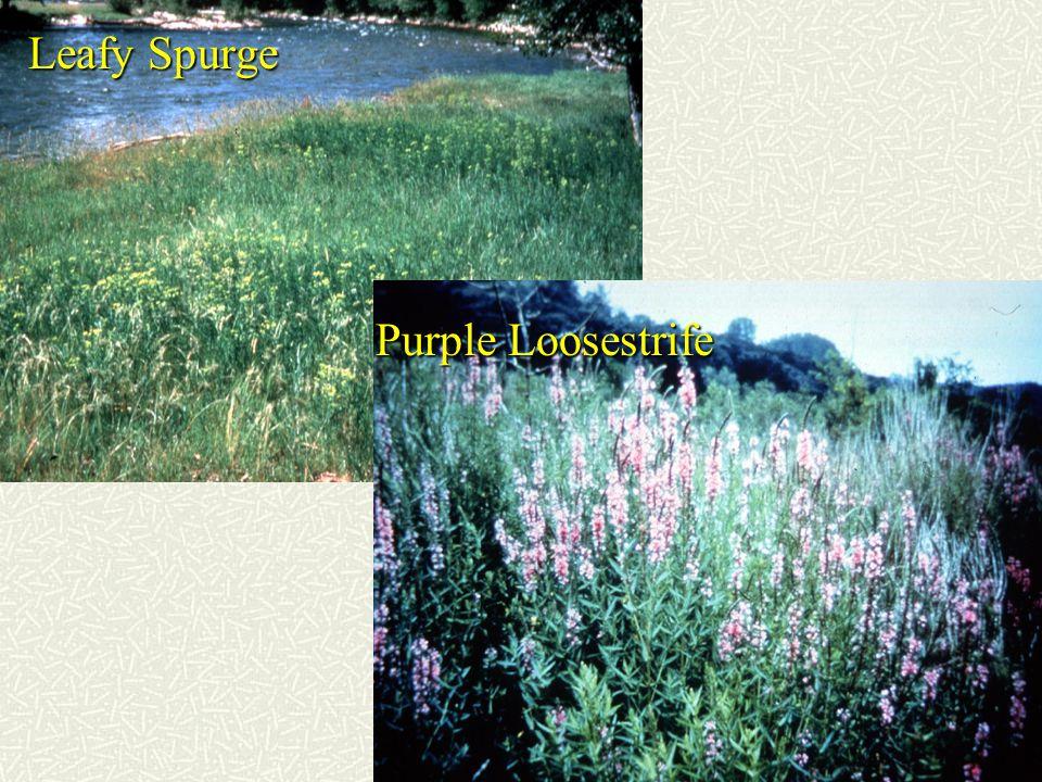 Leafy Spurge Purple Loosestrife