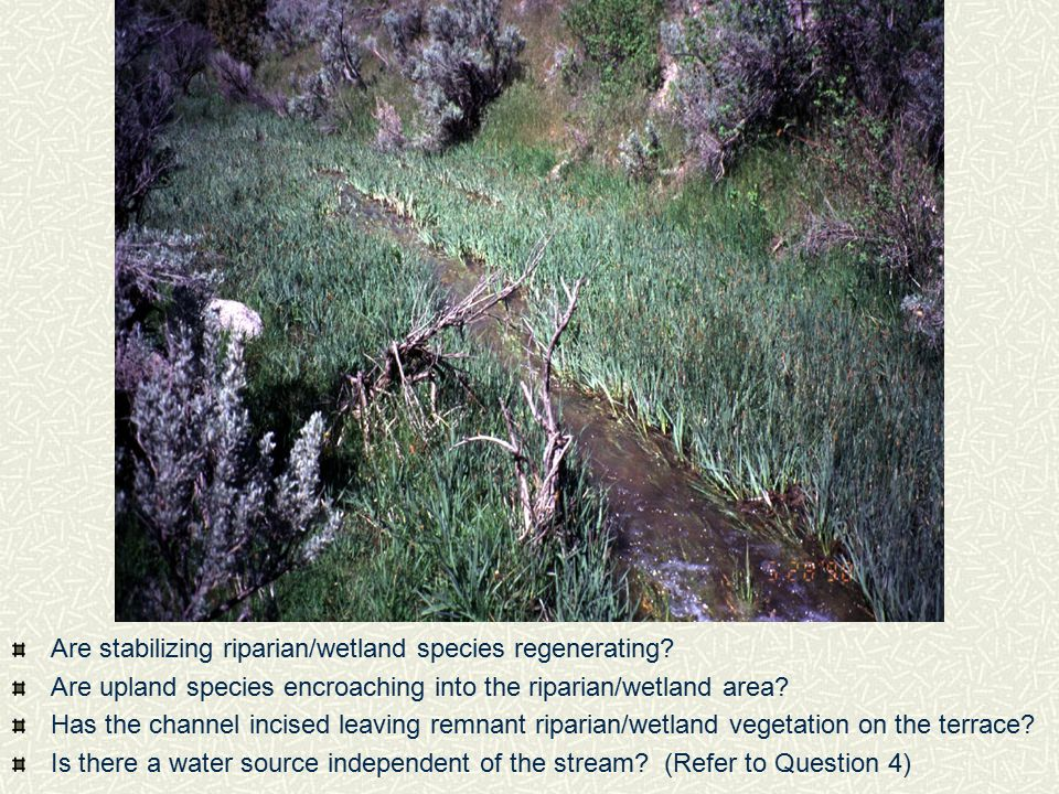 Are stabilizing riparian/wetland species regenerating? Are upland species encroaching into the riparian/wetland area? Has the channel incised leaving