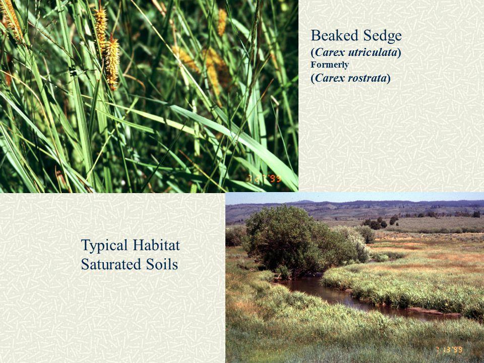 Nebraska sedge ( Carex nebarasensis ) Emery Creek