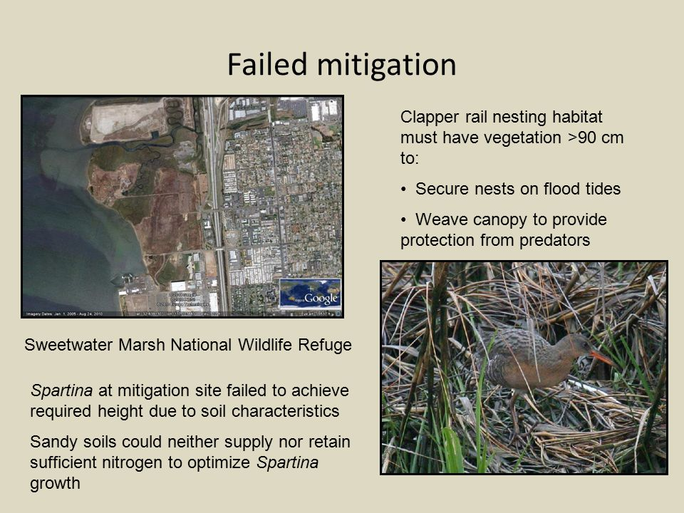 Failed mitigation Sweetwater Marsh National Wildlife Refuge Clapper rail nesting habitat must have vegetation >90 cm to: Secure nests on flood tides Weave canopy to provide protection from predators Spartina at mitigation site failed to achieve required height due to soil characteristics Sandy soils could neither supply nor retain sufficient nitrogen to optimize Spartina growth