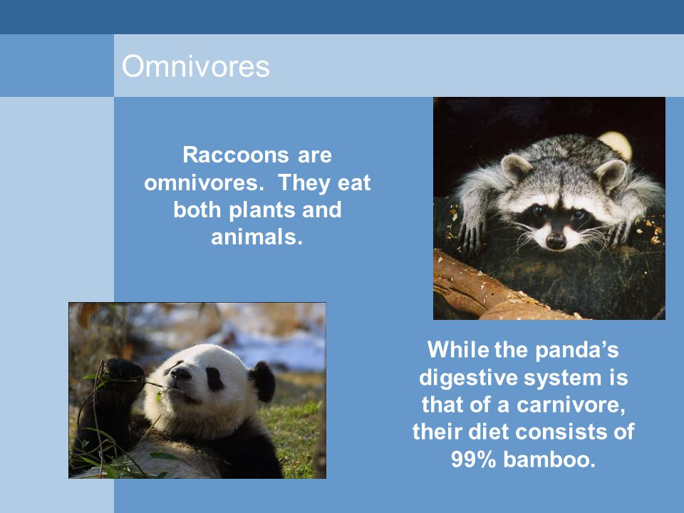 Omnivores While the panda's digestive system is that of a carnivore, their diet consists of 99% bamboo. Raccoons are omnivores. They eat both plants a