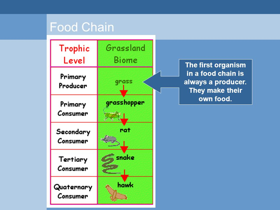 Food Chain The first organism in a food chain is always a producer. They make their own food.