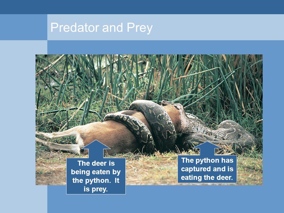 Predator and Prey The deer is being eaten by the python. It is prey. The python has captured and is eating the deer.