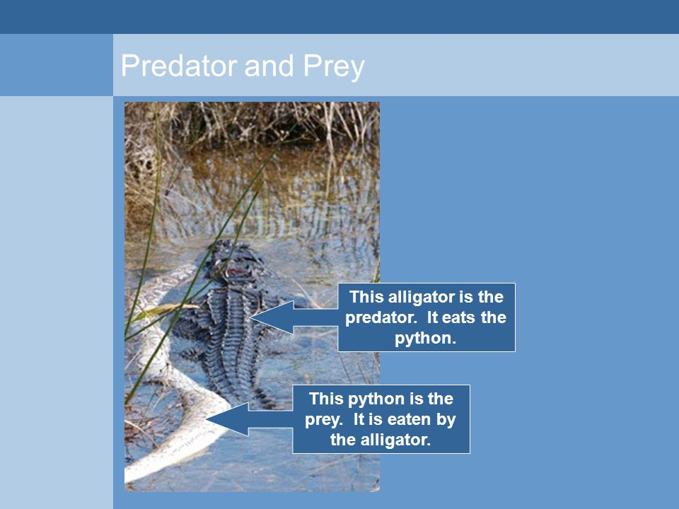 Predator and Prey This alligator is the predator. It eats the python. This python is the prey. It is eaten by the alligator.
