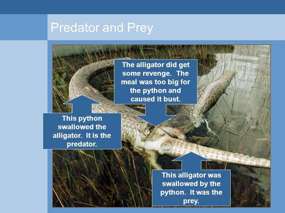 Predator and Prey This python swallowed the alligator. It is the predator. This alligator was swallowed by the python. It was the prey. The alligator