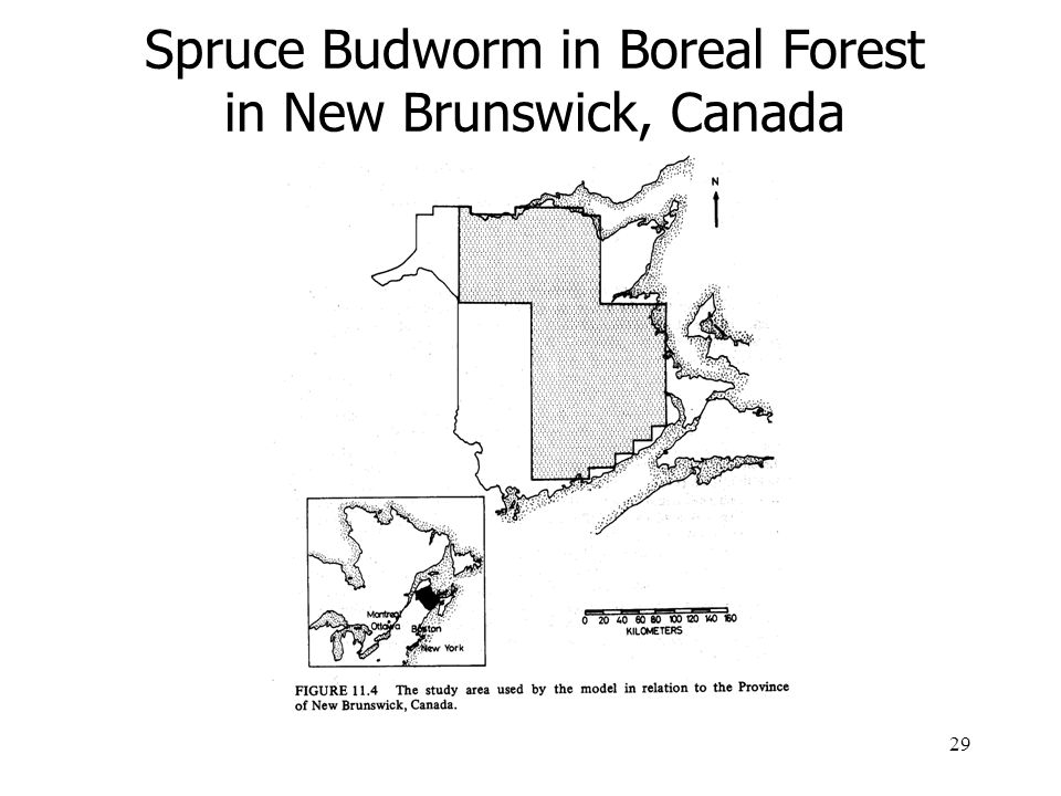 29 Spruce Budworm in Boreal Forest in New Brunswick, Canada