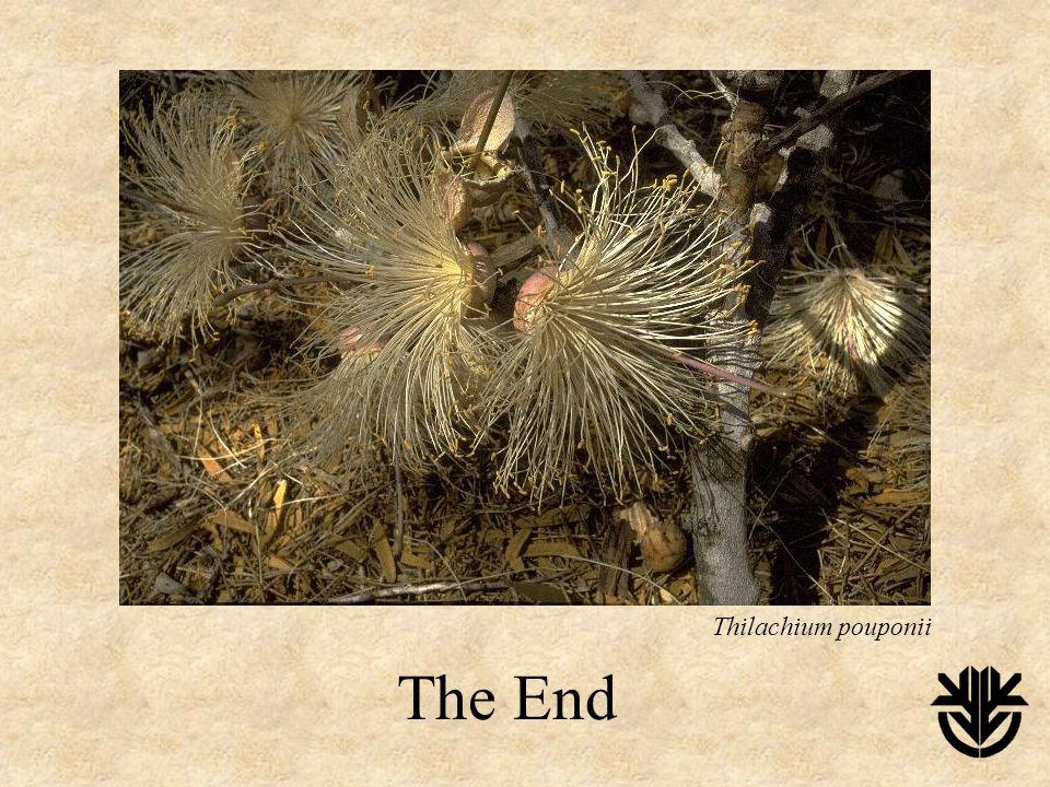 The End Thilachium pouponii