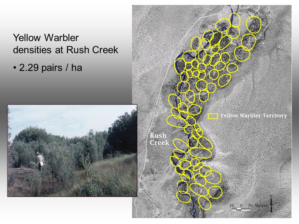 Yellow Warbler densities at Rush Creek 2.29 pairs / ha