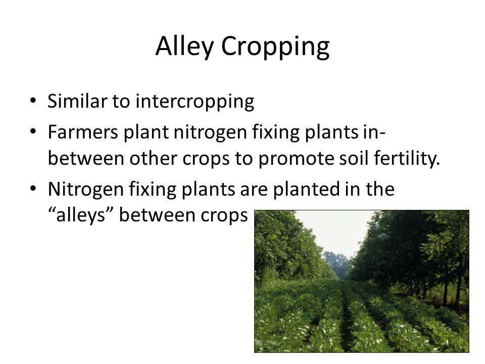 Alley Cropping Similar to intercropping Farmers plant nitrogen fixing plants in- between other crops to promote soil fertility. Nitrogen fixing plants