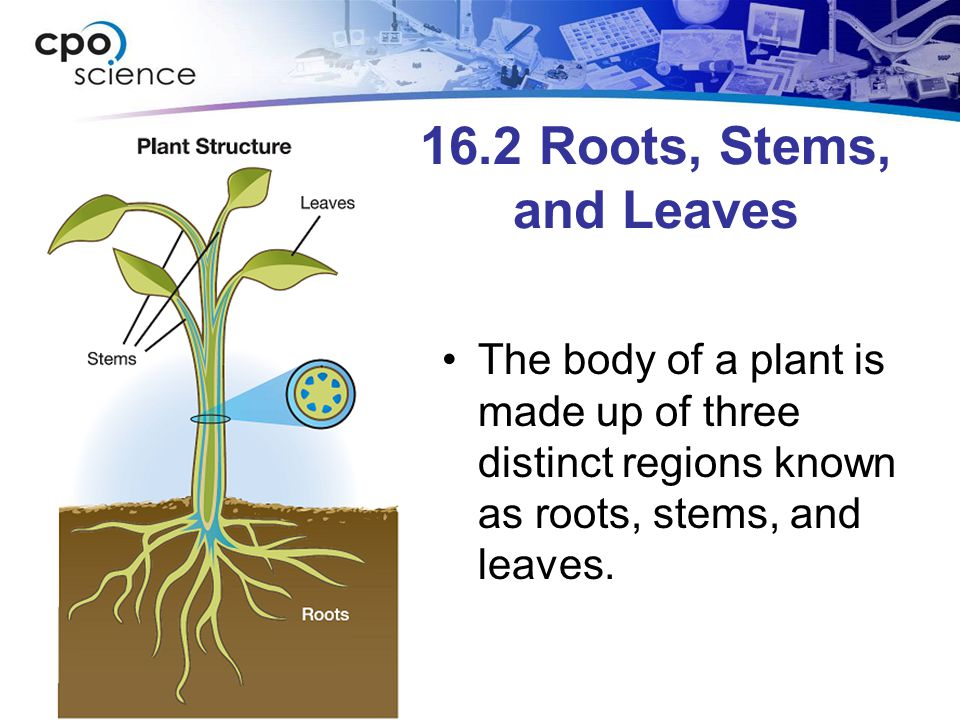 16.2 Roots, Stems, and Leaves Seed plants contain vascular tissues that carry water and nutrients from one end of the plant to the other.