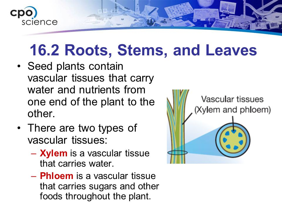 16.2 Transpiration Transpiration is the loss of water through the stomata.