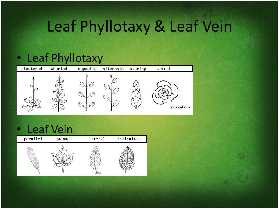 Leaf Phyllotaxy & Leaf Vein Leaf Phyllotaxy Leaf Vein