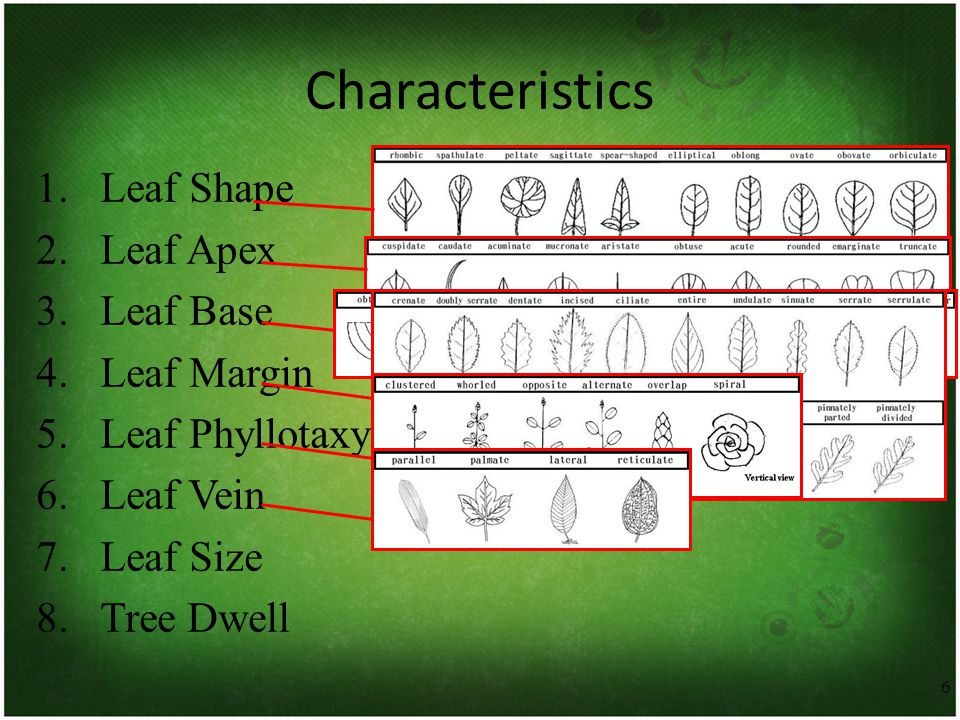 6 Characteristics 1.Leaf Shape 2.Leaf Apex 3.Leaf Base 4.Leaf Margin 5.Leaf Phyllotaxy 6.Leaf Vein 7.Leaf Size 8.Tree Dwell