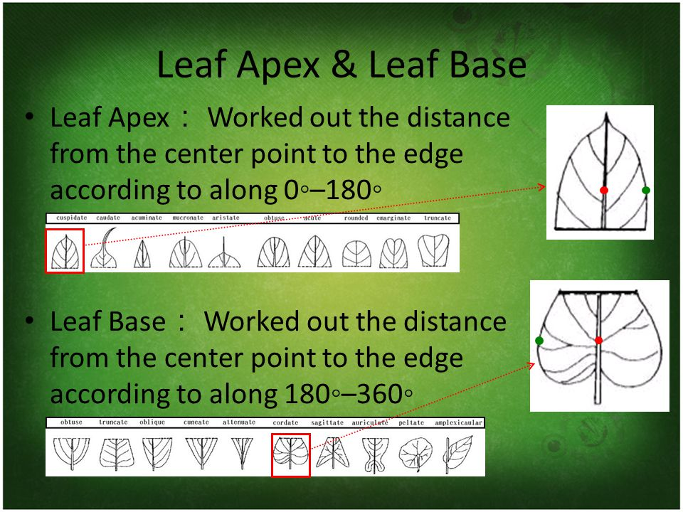 Leaf Apex & Leaf Base Leaf Apex : Worked out the distance from the center point to the edge according to along 0◦–180◦ Leaf Base : Worked out the dist